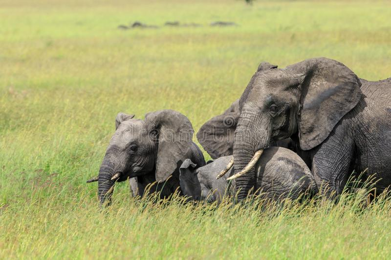 An African Bush Elephant with two generations protecting the little calf stock image