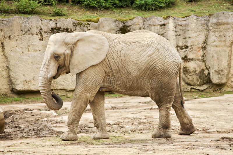 African bush elephant in zoo stock photos