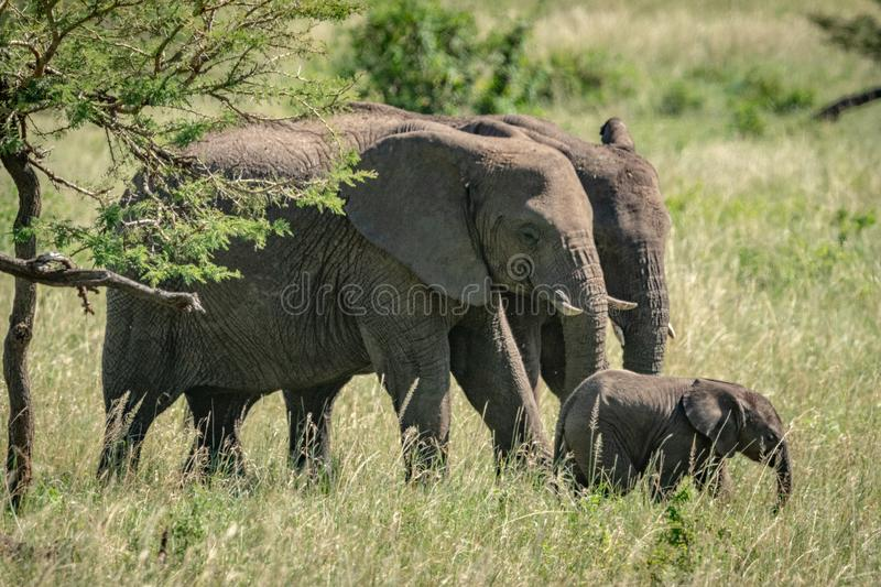 African bush elephants and calf cross grassland royalty free stock images