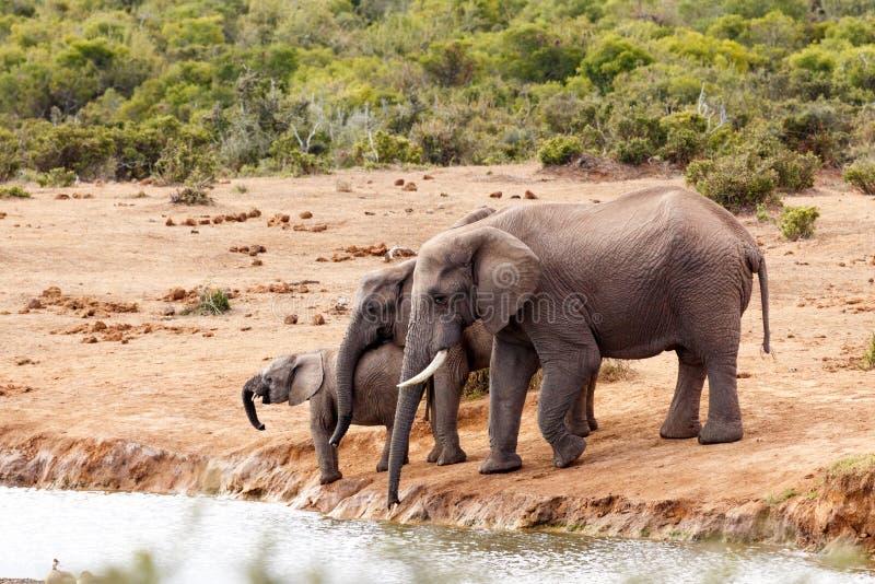 African Bush Elephants loving family gathering royalty free stock photography