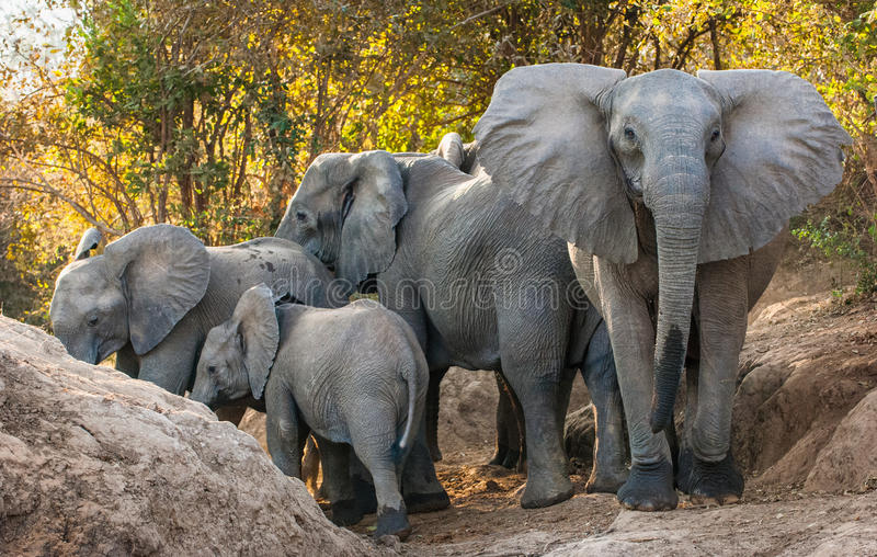 Download The  African Bush Elephants Stock Image - Image of savanna, loxodonta: 74300503