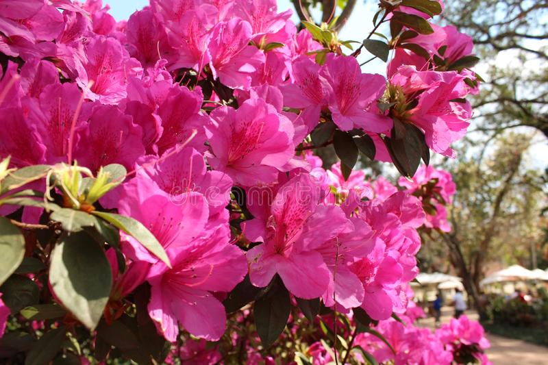African flower mdh