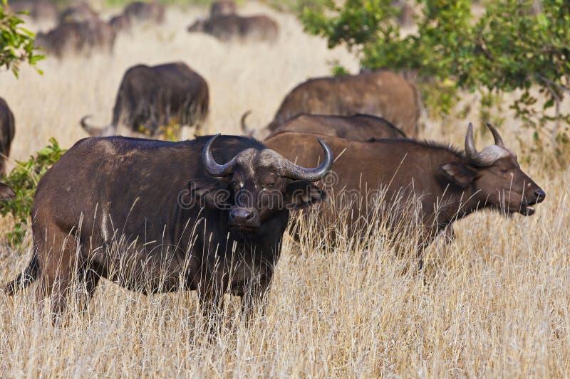 African cape buffalo stock photo