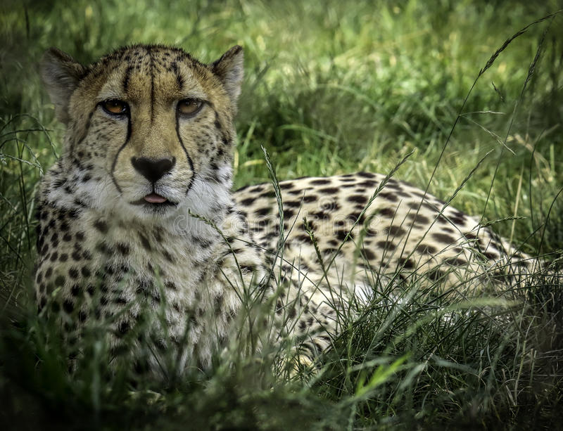 Cheetah. African carnivore laying in tall grass royalty free stock images