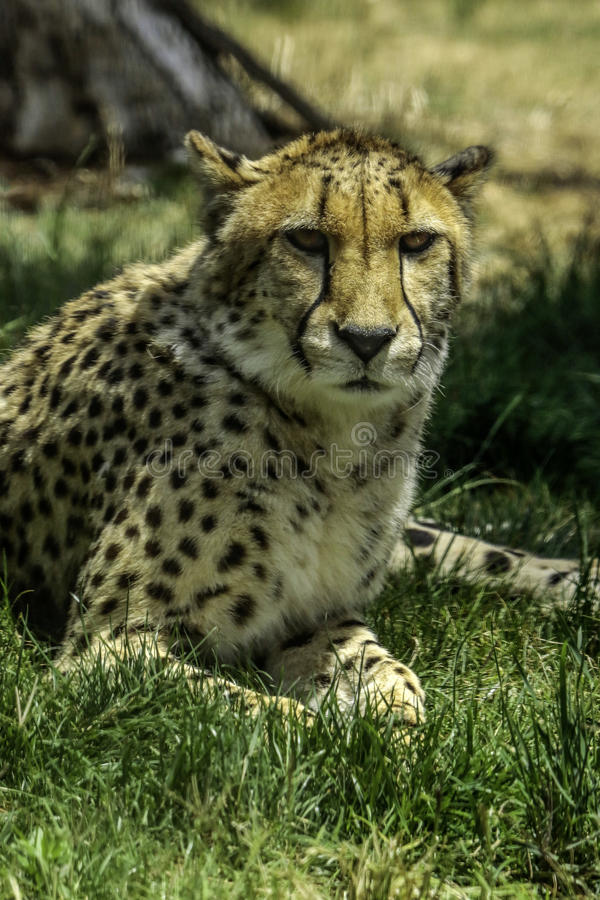 Cheetah. African carnivore laying in tall grass stock photography