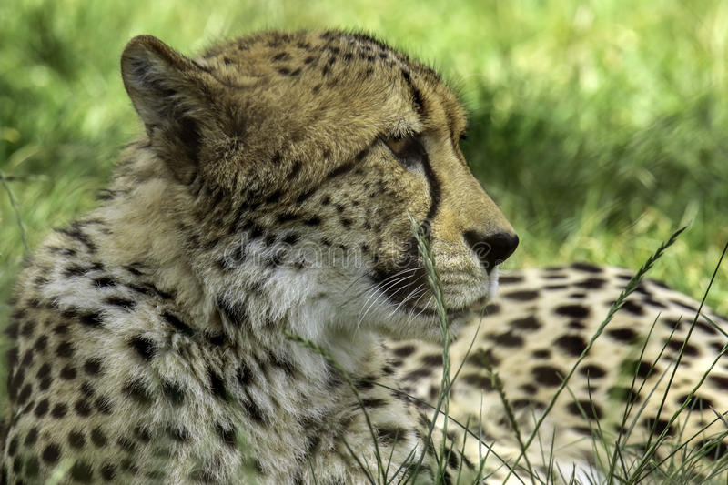 Cheetah. African carnivore laying in tall grass stock images