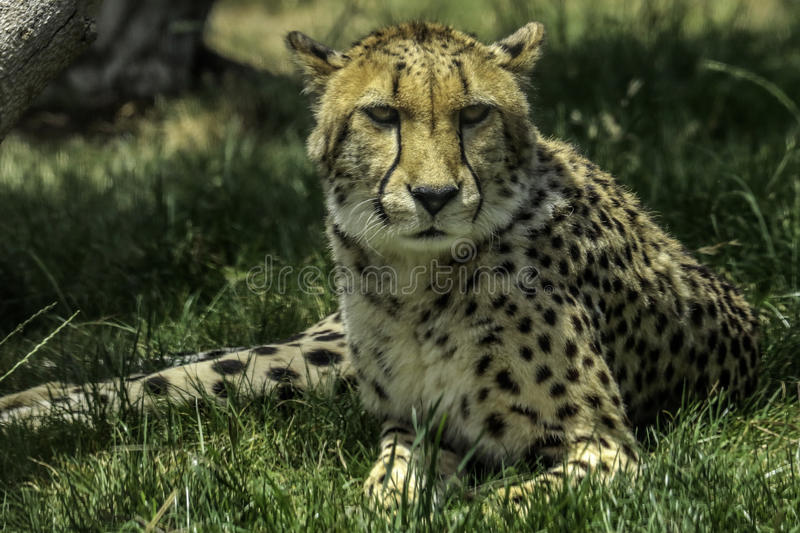 Cheetah. African carnivore looking at viewer stock images