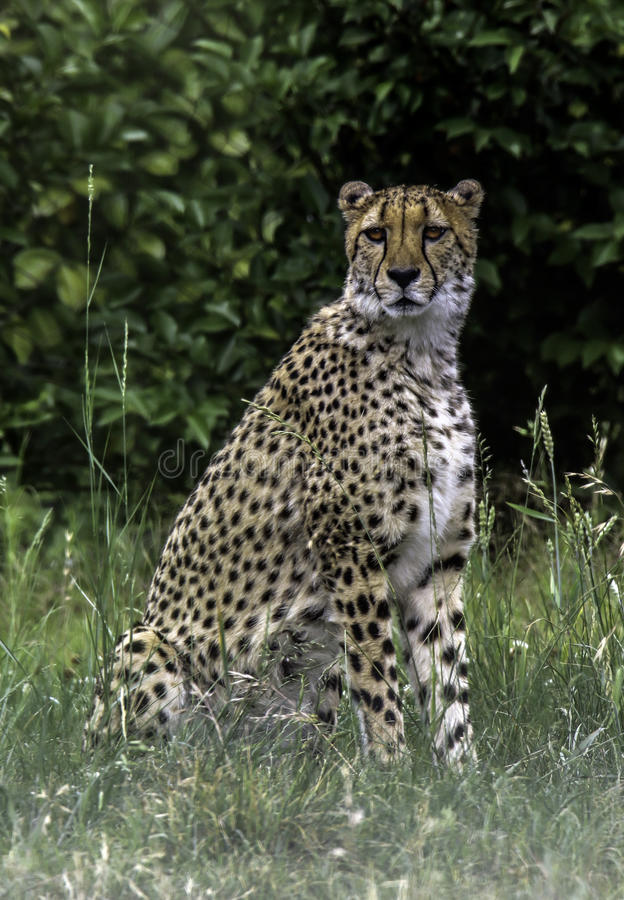 Cheetah. African carnivore sitting in tall grass royalty free stock image