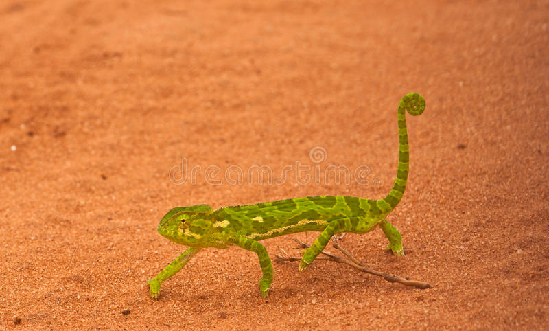Download An african Chameleon stock image. Image of green, road - 16765969