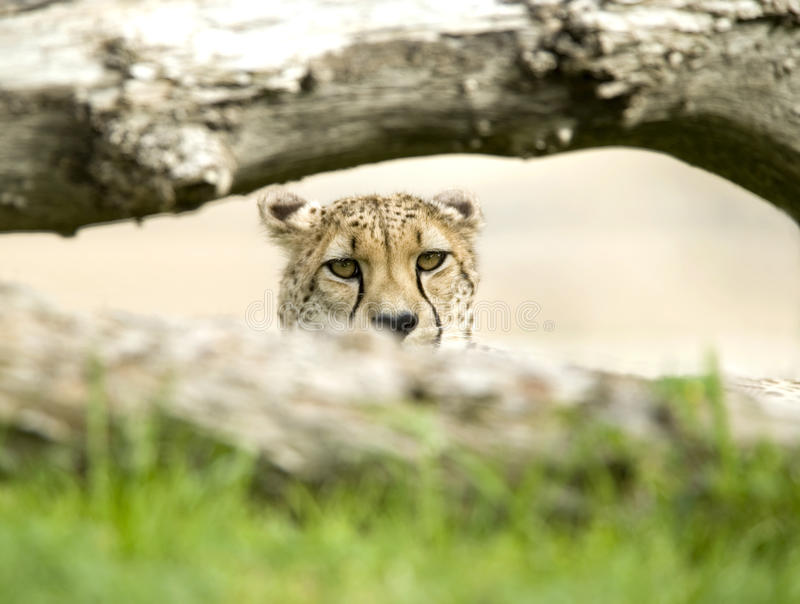Download African Cheetah Adult Male Behind Tree Big Cat Stock Photography - Image: 12629282