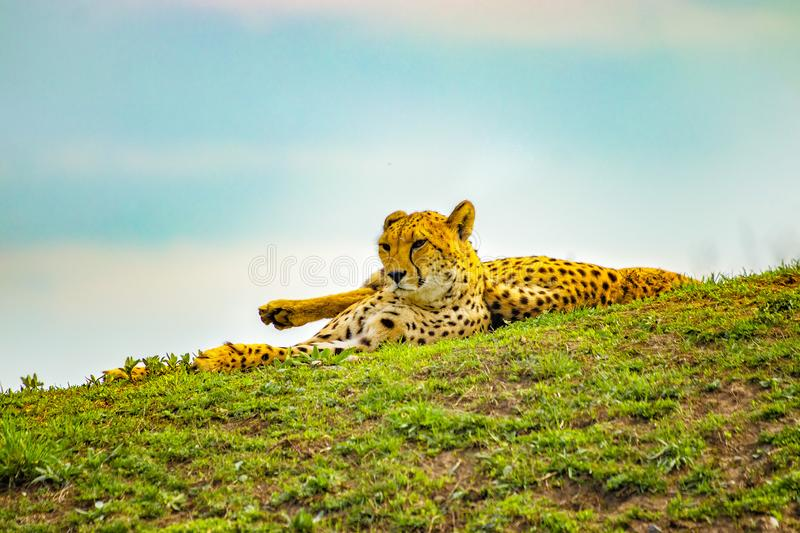 African cheetahs is lying on the green grass. The background is blue sky. It is close up photo. It is natural background with stock image