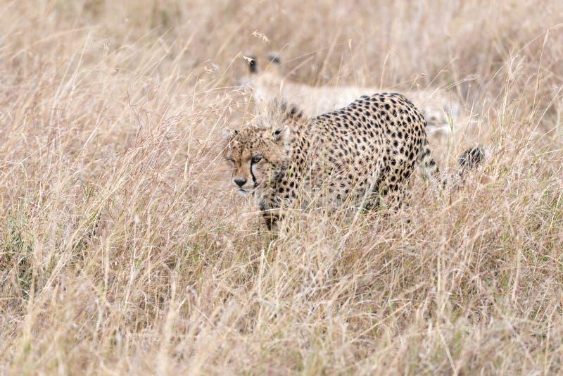 African cheetahs royalty free stock photos