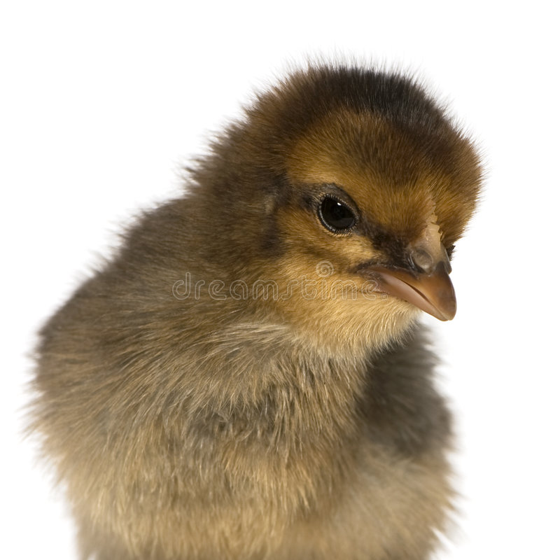 African chick