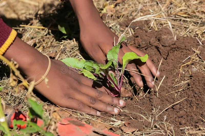 African child hands planting vegetables in soil. Close up of African child hands planting vegetables in soil royalty free stock image