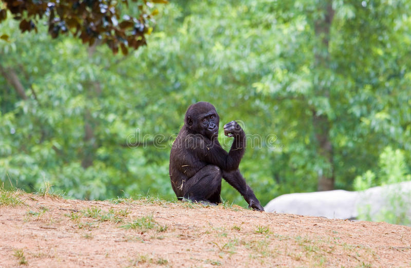 African chimpanzee royalty free stock image