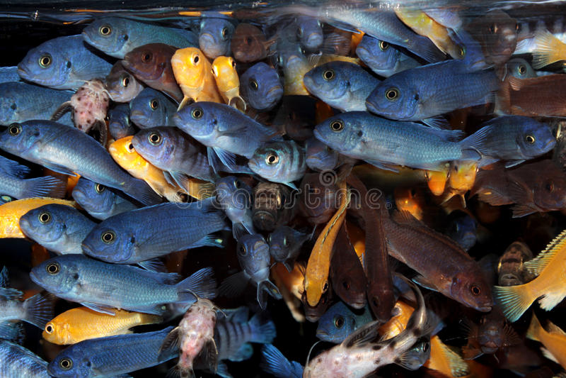 African Cichlids (Blue mbuna) aquarium fishes stock photo