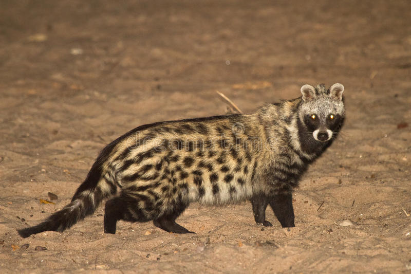 African Civet. Night safari South Luangwa, Zambia Africa stock images