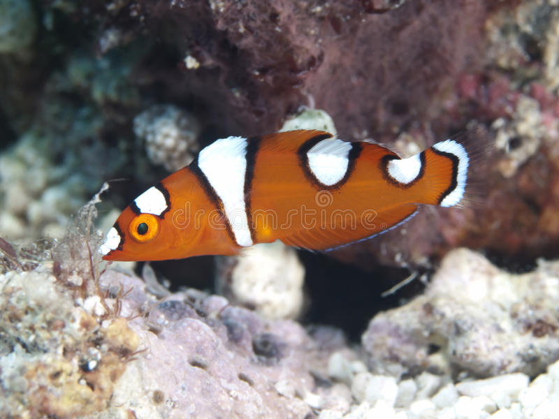 African coris. In Bohol sea, Phlippines Islands royalty free stock photos