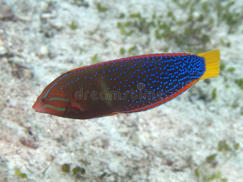 African coris. In Bohol sea, Phlippines Islands stock image
