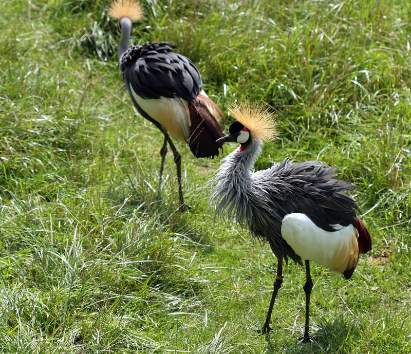 African Crested Crane Royalty Free Stock Photo