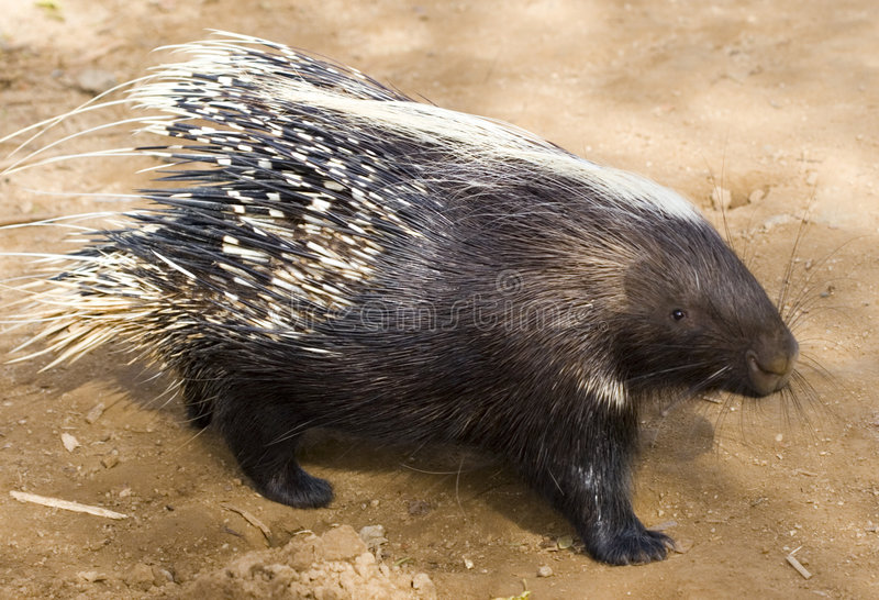 African Crested Porcupine royalty free stock image