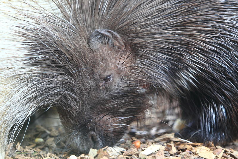 African crested porcupine. The detail of african crested porcupine stock photography
