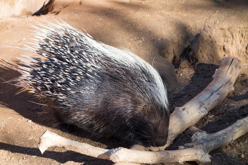 African Crested Porcupine. Hystrix cristata checking dry wooden sticks royalty free stock images