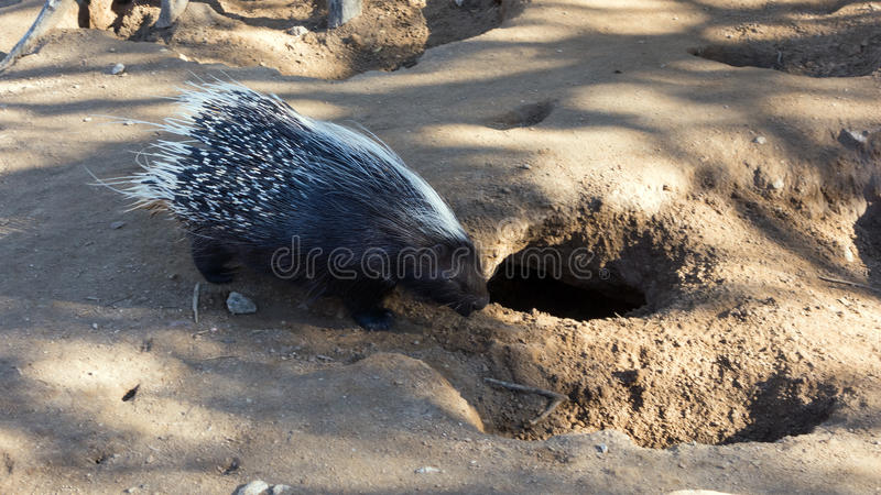 African Crested Porcupine. Long Quills neatly covering adult African Crested porcupine Hystrix cristata royalty free stock image