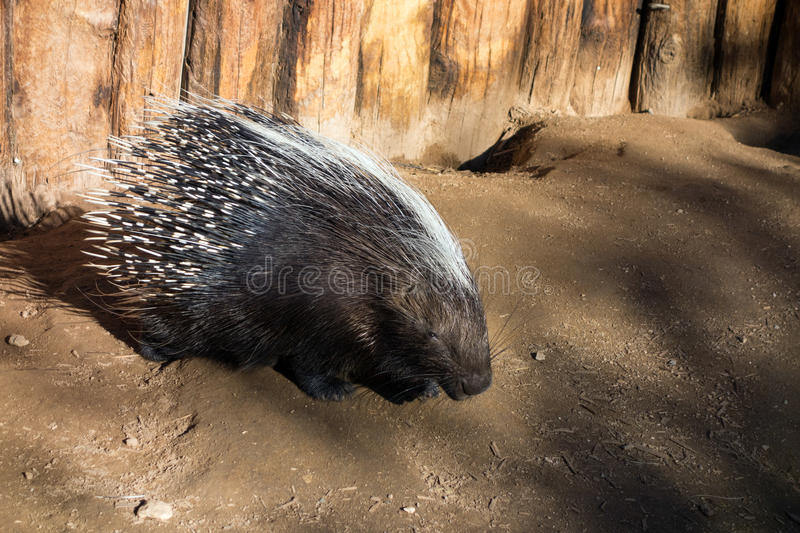 African Crested Porcupine. Long Quills neatly covering adult African Crested porcupine Hystrix cristata royalty free stock images