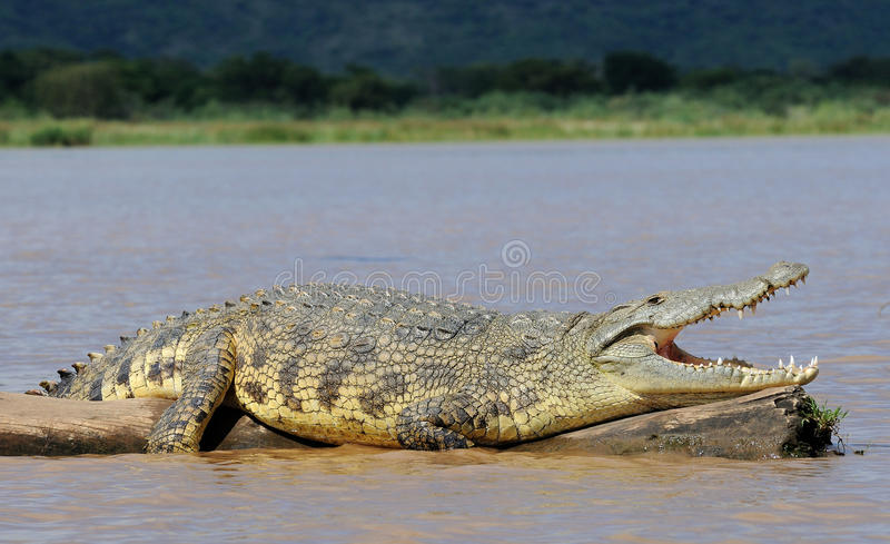 African Crocodile. Big crocodile sunbathing on a death tree at lake Chamo, South Ethiopia