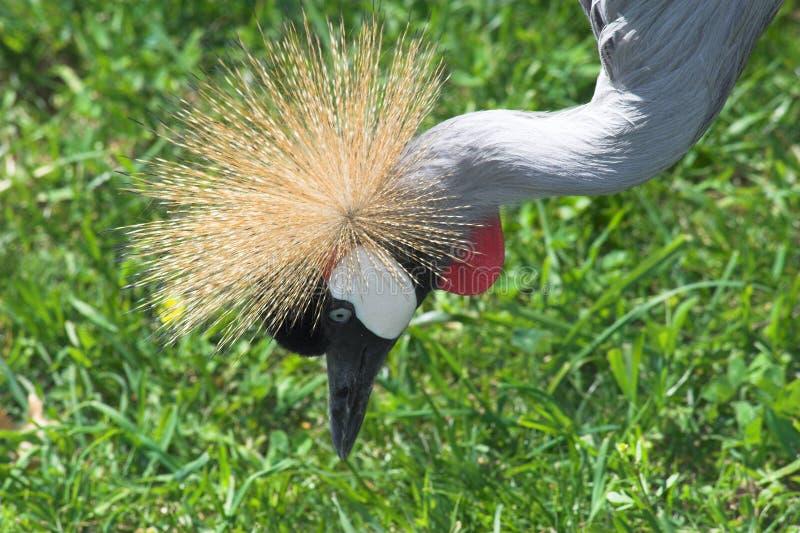 African crown crane 2 stock photos