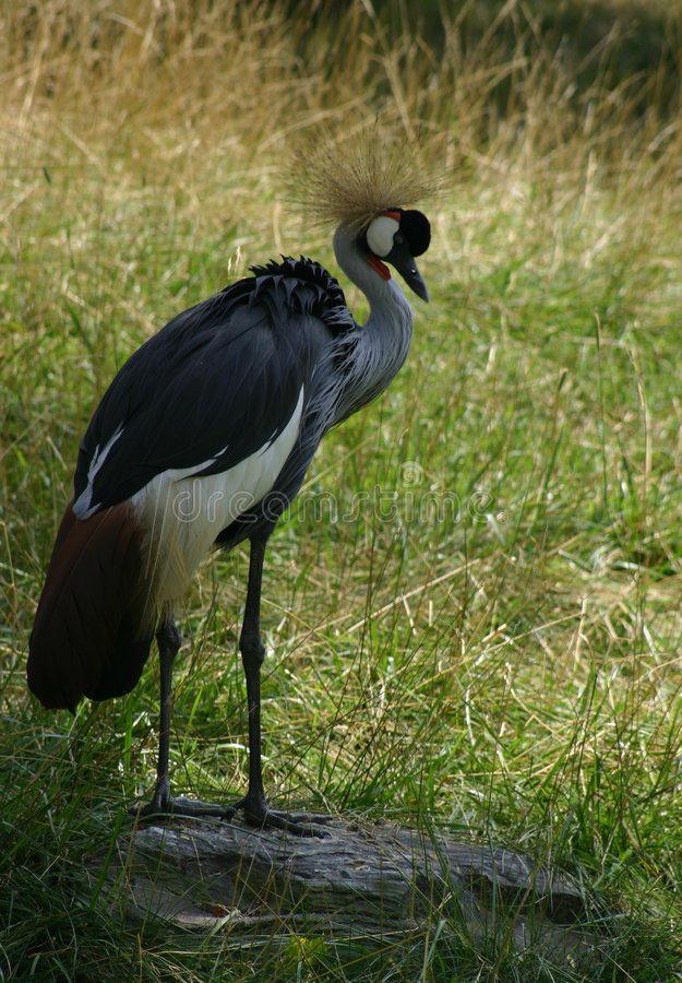 Download African crowned crane stock image. Image of crown, animal - 18887