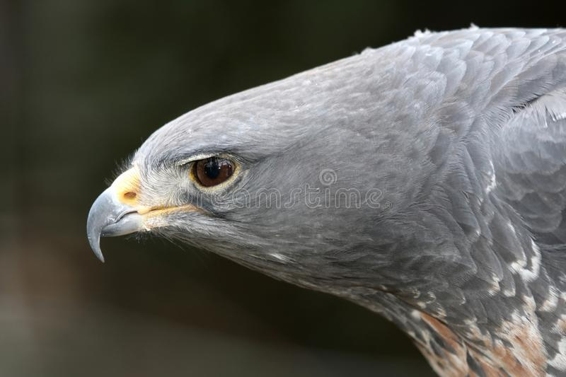 African Crowned Eagle royalty free stock images