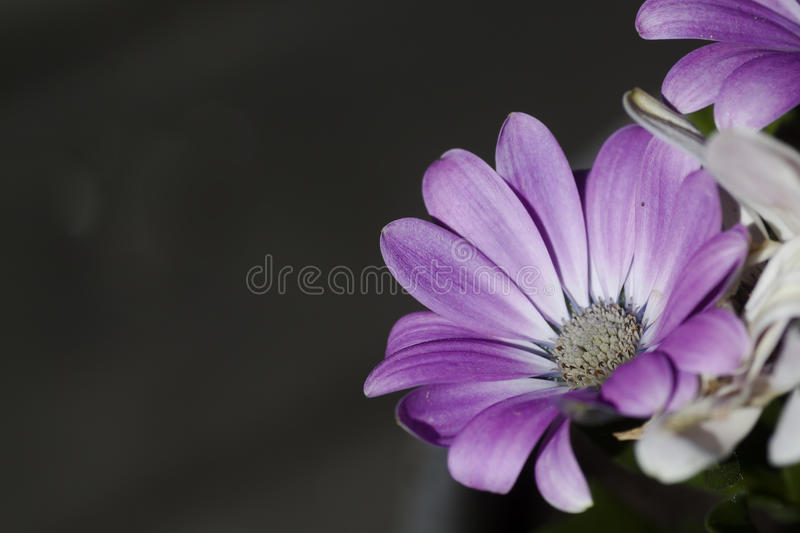 African daisies. Or cape marigolds stock photography