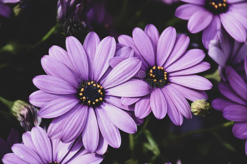 African daisies or Osteospermum or Daisy bushes plant with open blooming royalty free stock photos