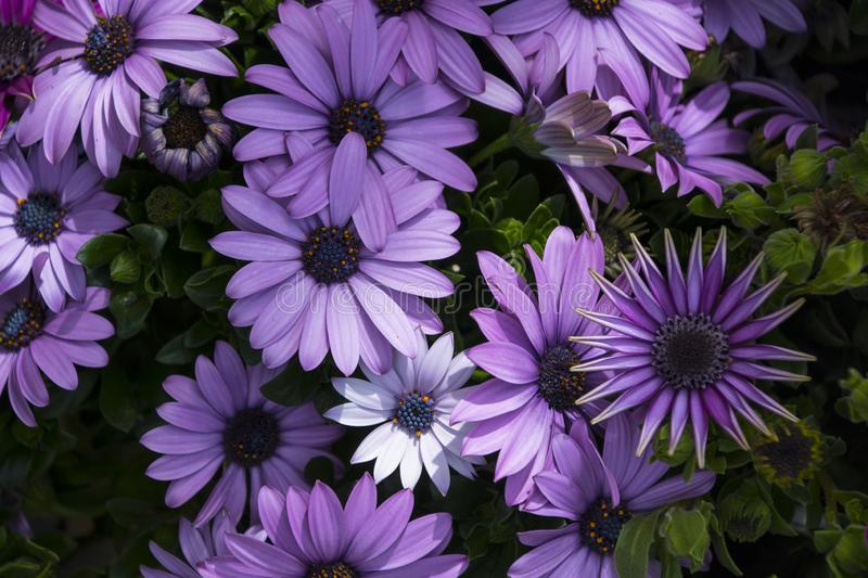 African daisies or Osteospermum or Daisy bushes plant with open blooming white with small violet ends flower petals and colourful royalty free stock image