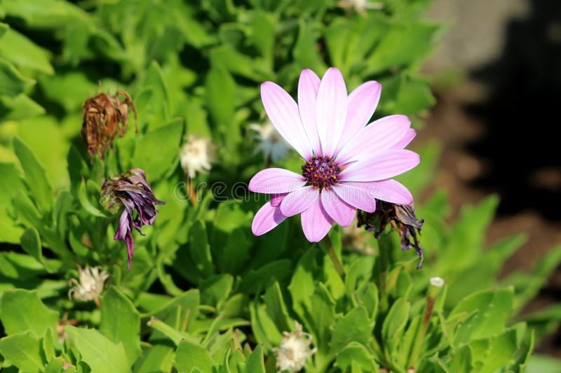 African daisies or Osteospermum plant with violet flower surrounded with withered flowers and light green leaves. African daisies or Osteospermum or Daisy bushes stock images