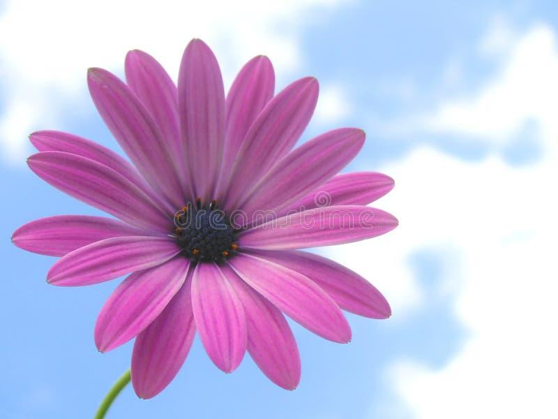African daisy stock photos