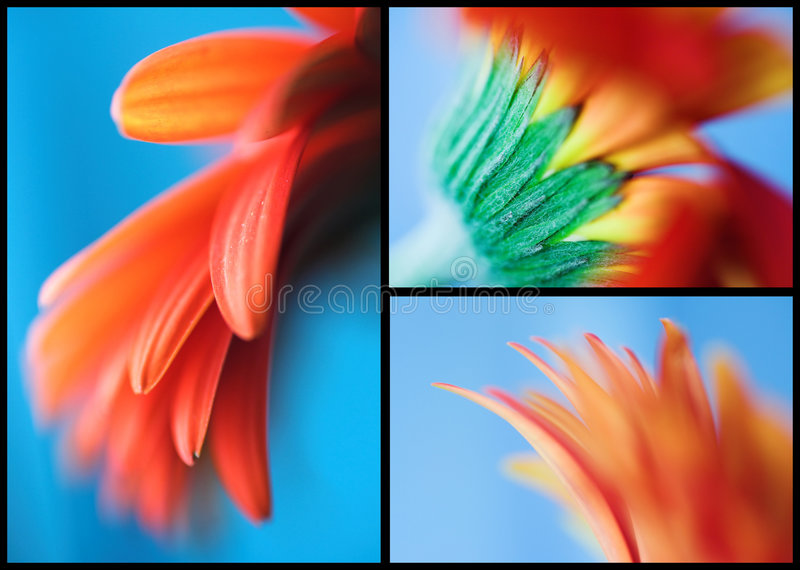 Download African daisy stock image. Image of bloom, postcard, close - 5971423