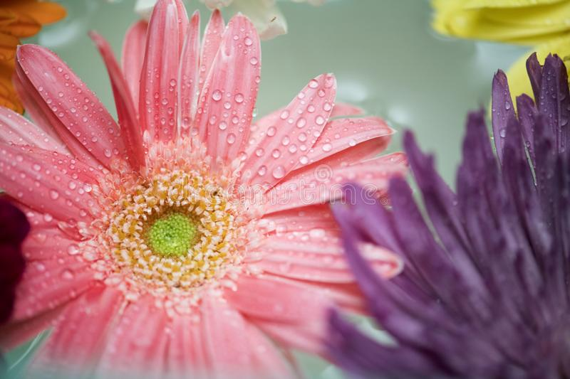 African, Daisy, Attractive royalty free stock images