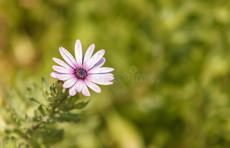 African daisy blooms in a green field stock photography