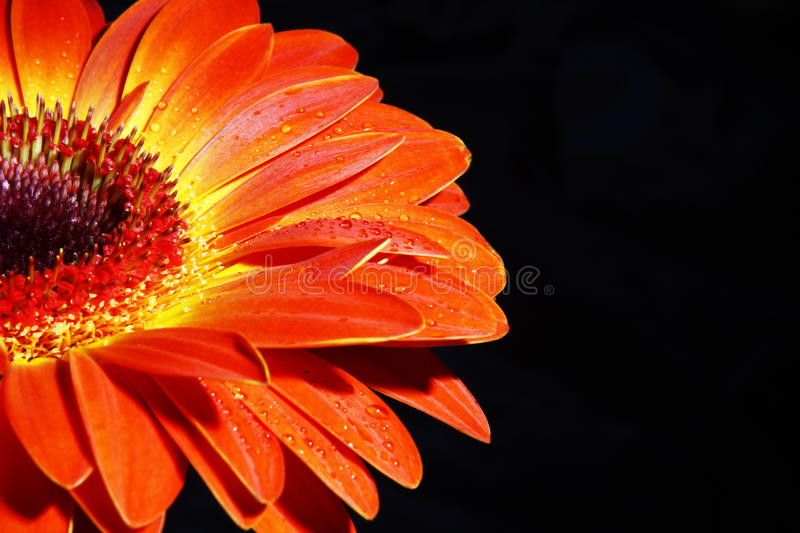 African daisy. wallpaper royalty free stock photos