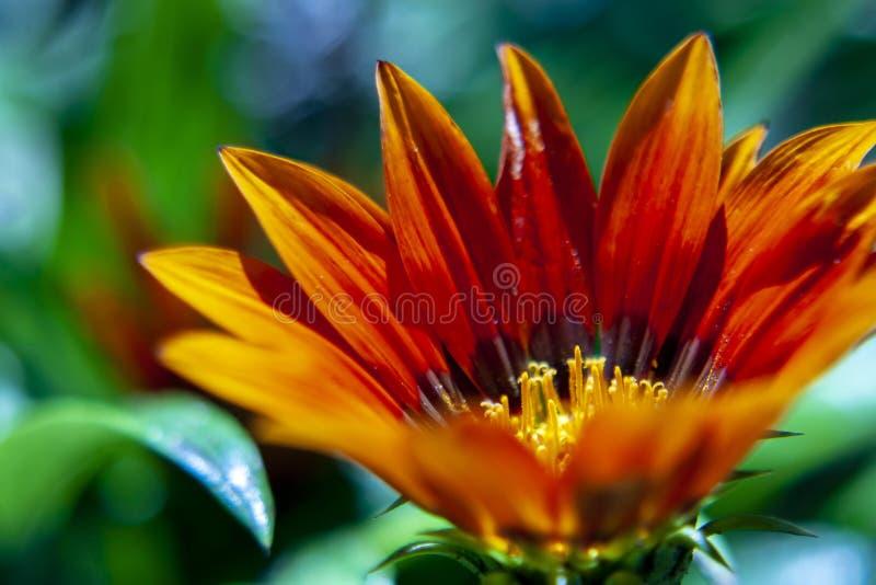African daisy close-up, macro photo. Gazania is a genus of flow royalty free stock photos