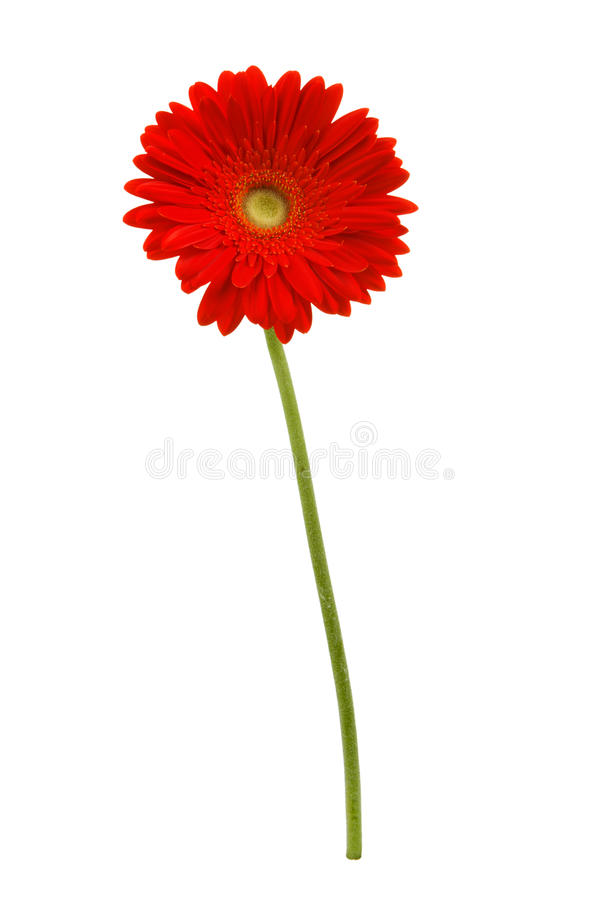 African daisy isolated on white royalty free stock images