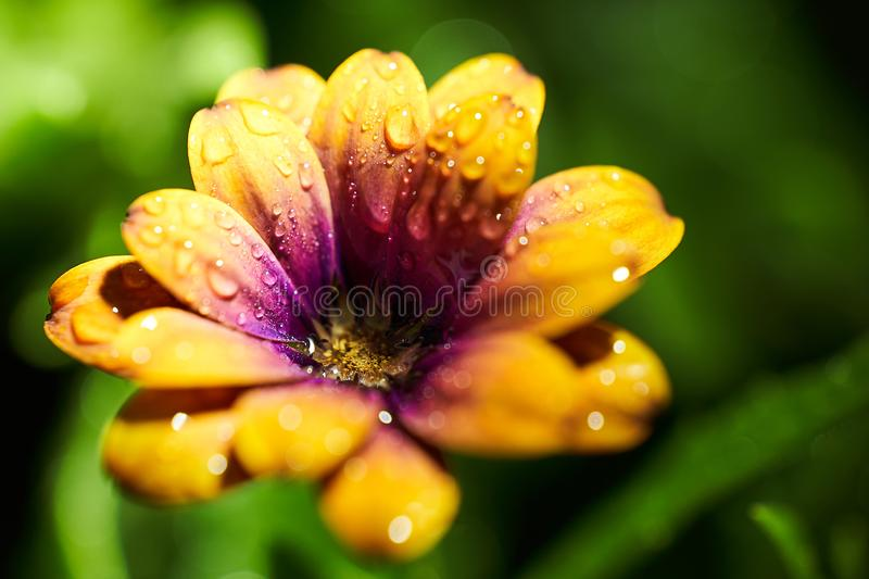 African Daisy macro shot after rain stock images