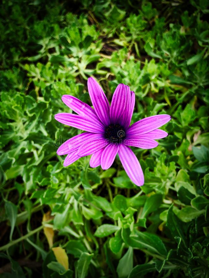 African Daisy Purple flower stock images