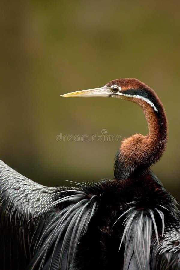 Free African Darter Stock Image - 13699991