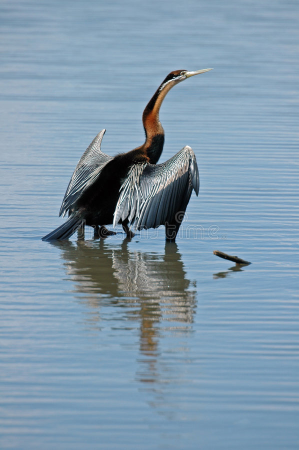 African Darter. A bird that swims very low in water, diving for food royalty free stock photo