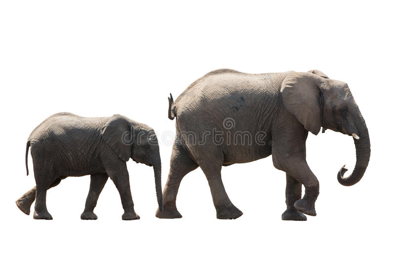 African desert Elephant Family cow and Younger isolated on white royalty free stock photo