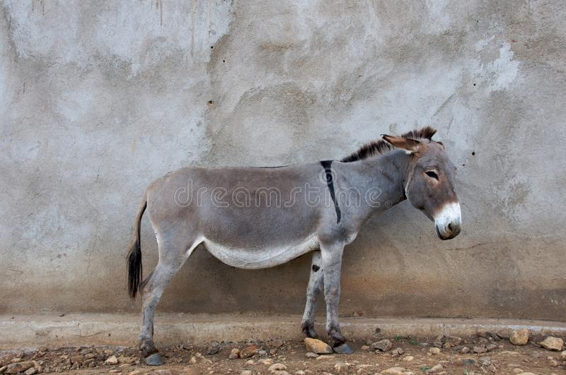 Download African Donkey stock photo. Image of tanzania, travel - 21072046